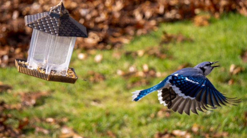 What does seeing a Blue Jay in your yard mean?