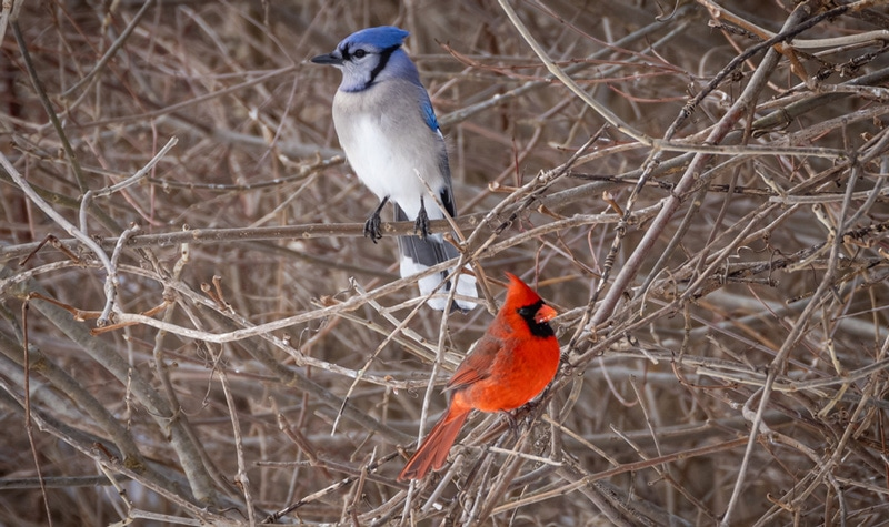 Cardinal and Blue Jay meaning