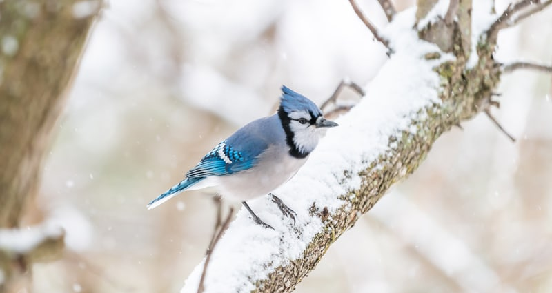 Dreaming of Blue Jays