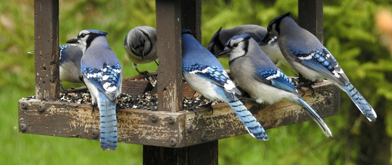 Spiritual meaning of a flock of Blue Jays