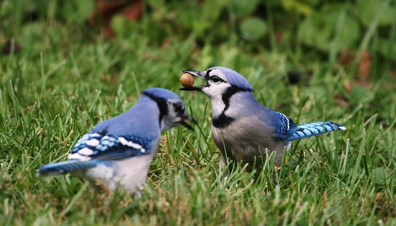 What does seeing two Blue Jays mean?